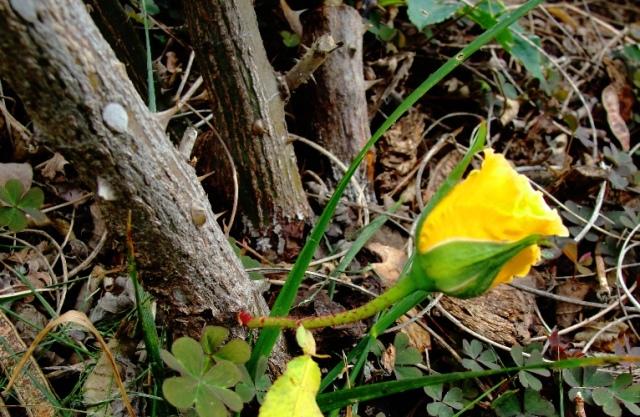 Yellow Rose Bud - Cane Rose - First Rose of Season - Small Rose