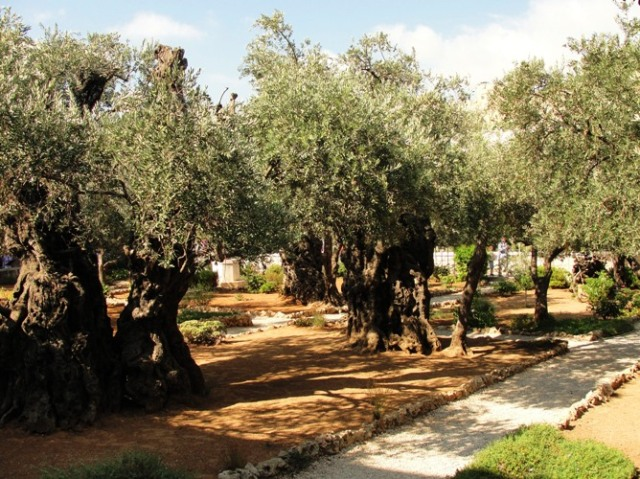 Garden of Gethsemane - Church of All Nations - Olive Trees - Mount of Olives