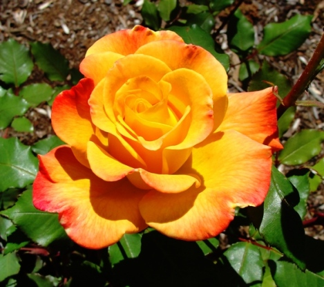 Orange Rose - April Flowers - April Showers bring May Flowers - Spring Color - Roses