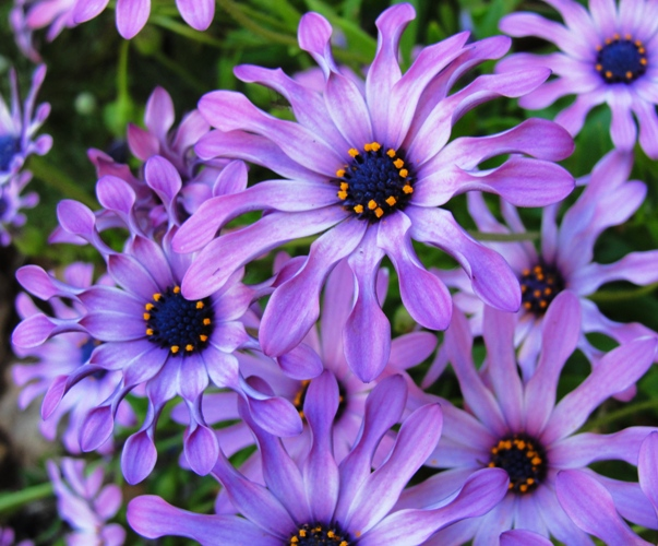 Purple Flowers - April Flowers - April Showers bring May Flowers - California - Colorful flowers