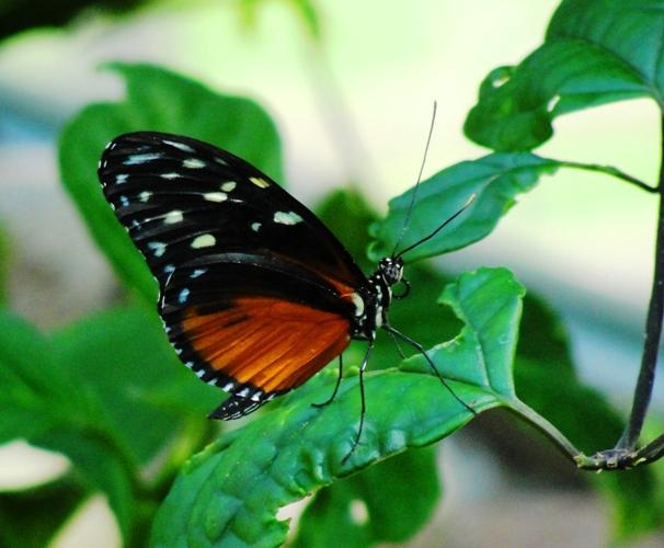 Golden Helicon (Heliconius hecale) - Butterfly - Henry Doorly Zoo - Omaha Nebraska