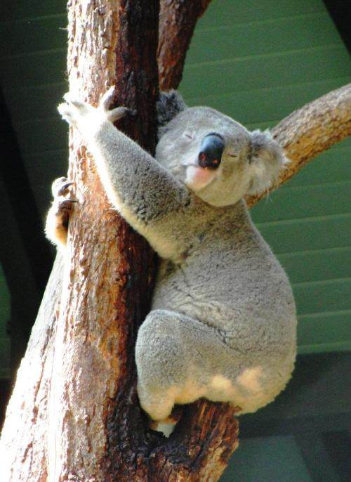Koala - Sydney, Australia - Taronga Zoo - Koala at Zoo - Down Under Zoo