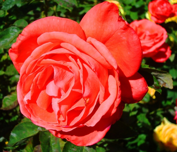 Tropican Rose - Tropican Hybrid Tea Rose - Happy Mother's Day - Rose Bush