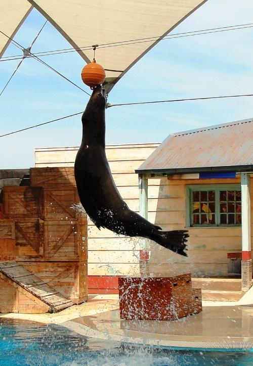 Sea Lion Jumping - Perfect Timing - Taronga Zoo - Sydney, Australia - Sea Lion - Water Show