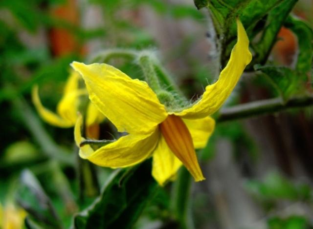 Tomato Blossom - Yellow Blossom - Tomato plant - Yellow Blossom