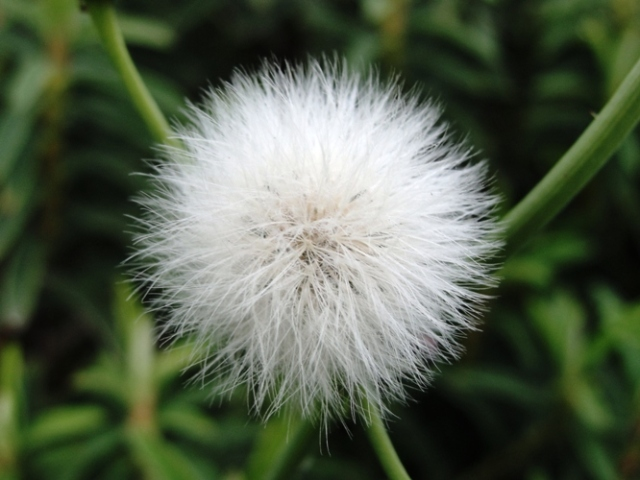 Dandelion - Blowball - Taraxacum - Irish Daisy - Puff-ball