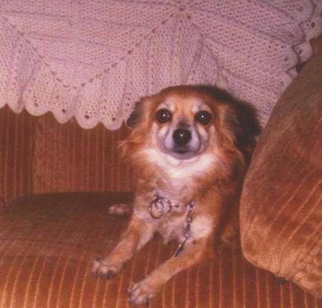 Pat - Long Hair Chihuahua - Family Pets - Family Dogs - Childhood Pets