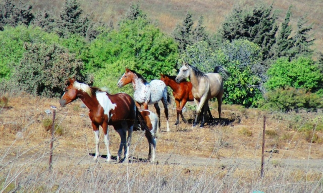 Golan Heights - Syrian Border - Horses - Border Conflict - Druze
