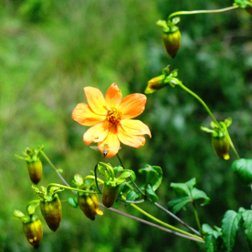 Yellow Flower - Seed Pods - Little Bee - Cuicuilco - Nature - Flora and Fauna