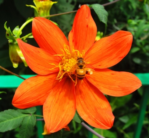 Bee and Flower - Orange Flower - Cuicuilco Archaelogical Site - Round Pyramid - Mexico City - Flora and Fauna