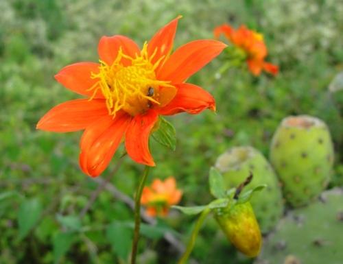 Orange Flower - Cactus - Cuicuilco - Mexico City - Flora and Fauna