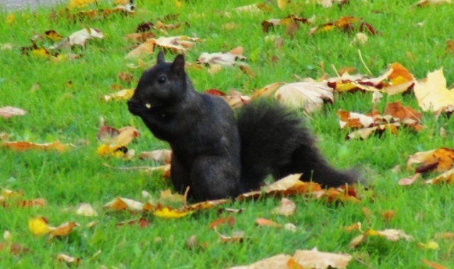 Black Squirrel - Eastern Gray Squirrel - melanistic squirrel - Sciurus carolinensis - Toronto