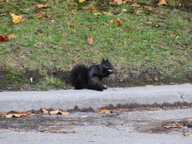 Black Squirrel - Eastern Gray Squirrel - melanistic squirrel - Sciurus carolinensis - Toronto