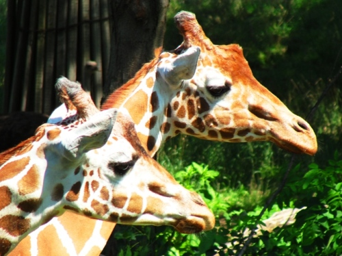 Giraffes - Giraffa camelopardalis - Henry Doorly Zoo - Omaha Zoo - Nations Best Zoo - Giraffe Riddle