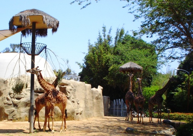Tower of Giraffes - San Diego Zoo - Giraffes - Giraffe Riddle - Giraffa camelopardalis