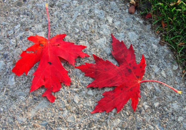 Fall Color - Red Leaves - Fall Foliage - World Series - Red Sox and Cardinals - Toronto