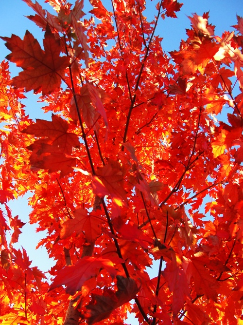 Fall Color - Toronto, Canada - Red Leaves - Autumn Splendor