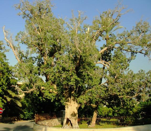 Zaccheus - Sycamore Tree - Jericho - Sycamore Fig - Ficus sycomorus