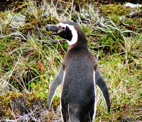 Juvenile Magelannic Penguin - Gypsy Cove - Falkland Islands - Nature - Birds
