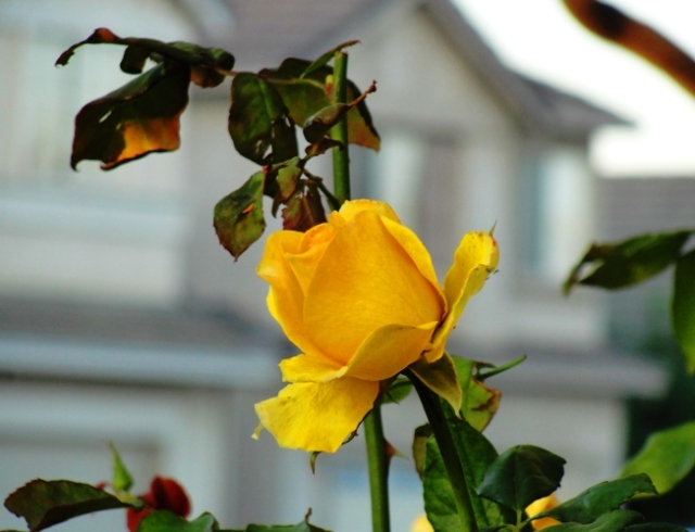 Yellow Rose Bloom - St. Patrick Rose - November Roses - Rose Bushes