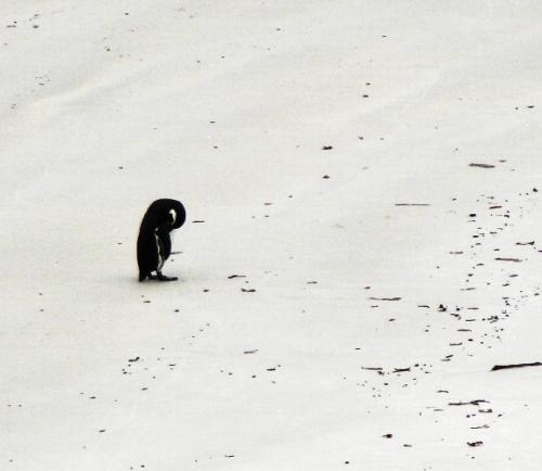 Lonely Penguin on White Beach - Magellanic Penguin - Falkland Islands - White Sand