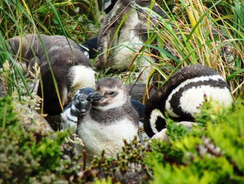 Magellanic penguins, Spheniscus magellanicus - Penguin Chick - Falkland Islands - Gypsy Cove