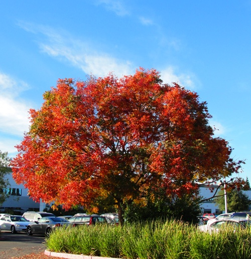 Red Tree - Fall Color - Fall Foliage - California Color - Red Tree