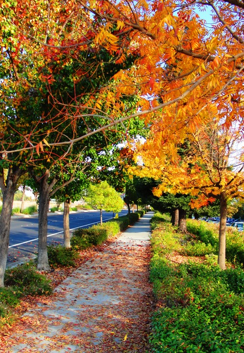 Leaves on Sidewalk - Colorful Tree - Fall Color - Dublin, California - November Fall Foliage - Red Leaves