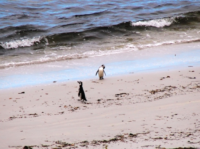 Yorke Bay - Falkland Islands - Malvinas - Gypsy Cove - Penguins - Magellanic Penguins