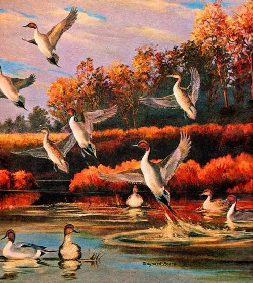 Maynard Reece - Wildlife Art - Ducks taking off - Duck Stamp Artist - Iowa Artist