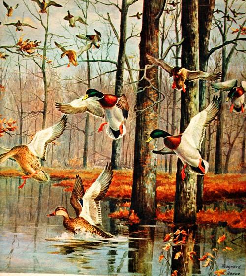 Maynard Reece - Wildlife Art - Duck Art - Duck Stamp Artist - Mallards - Scrapbook