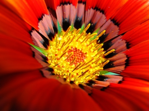 Sydney Daisies - Asteraceae - Daisy - North Ryde, Australia - Red Daisy