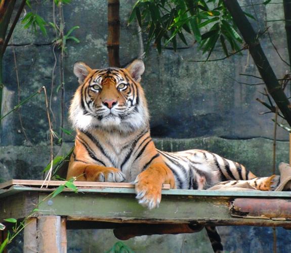 Taronga Zoo - Sumatran Tiger - Panthera tigris sumatrae - Zoo - Tigers