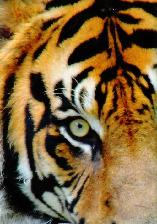 Sumatran Tiger - Panthera tigris sumatrae - Toronto Zoo - Tigers - Tiger Closeup - Tiger Eye