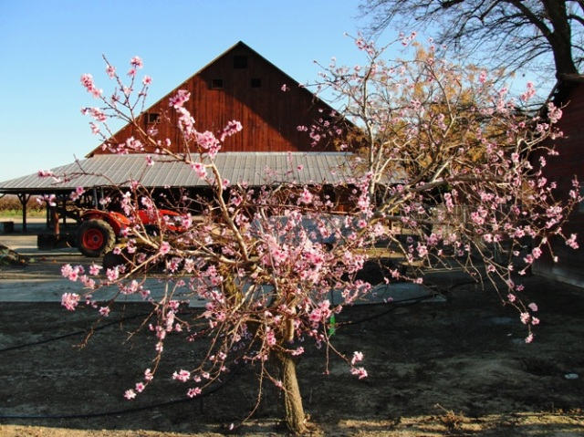Peach Blossoms - Century Old Peach Tree - Peach Tree - Pink Blossoms