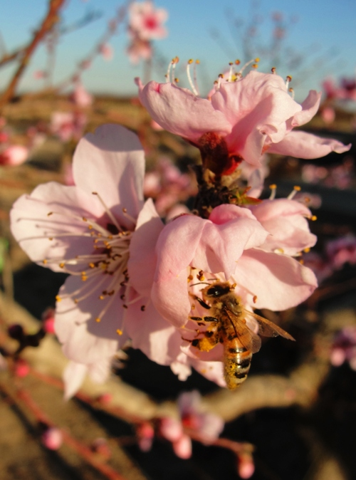 Peach Blossoms - Bees - Pollination - Peach Tree - Orchard