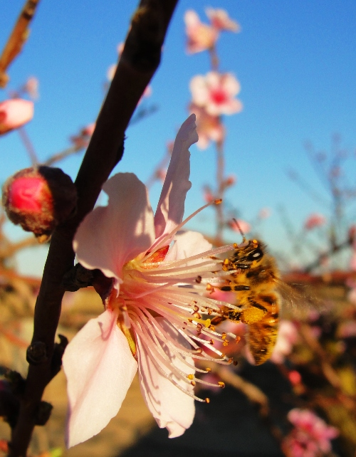Honey Bee - Peach Blossom - Spring Blossoms - Orchard - Bees