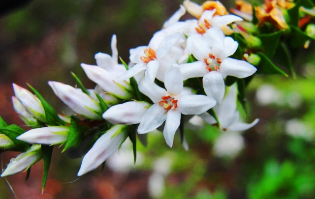 White Flowers - Blue Mountains - Little White Flowers