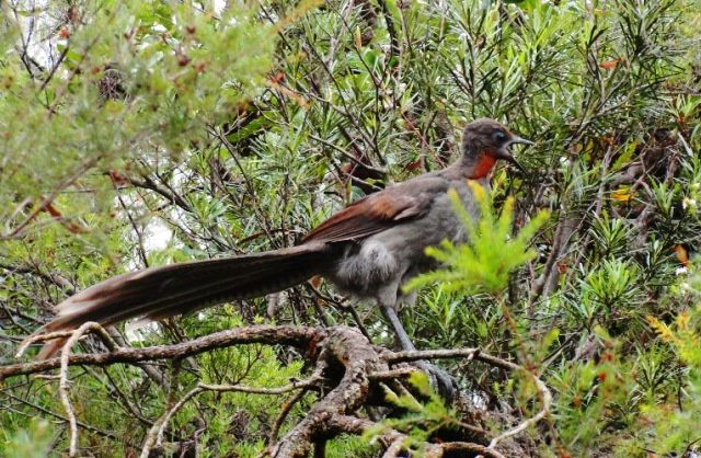Blue Mountain Bird - Blue Mountains - Australia - Bird ID - Superb Lyrebird