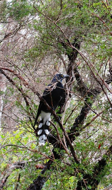 Pied Currawong (Strepera graculina) - Australian Bird - Blue Mountains