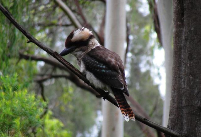 Laughing Kookaburra - Dacelo novaeguineae - Kingfisher - Kookaburra Close Up