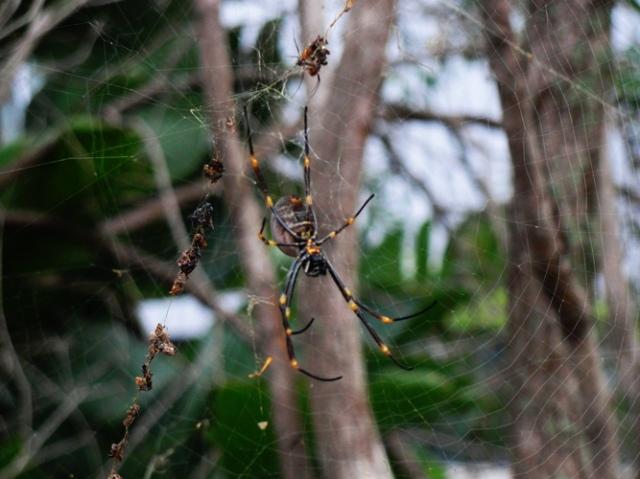 Orb Spider - Spider in Australia - Spider Web - Garden Spider