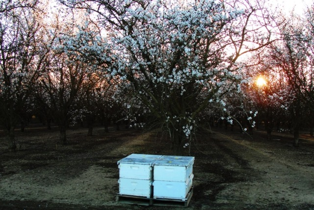 Orchard Sunset - Almond Orchard - Bee Hives - Sunset Orchard - White Blossoms