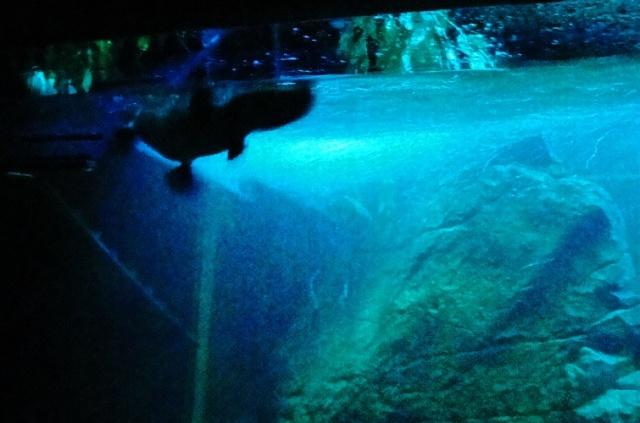 Platypus - Taronga Zoo - Ornithorhynchus anatinus - Swimming Platypus
