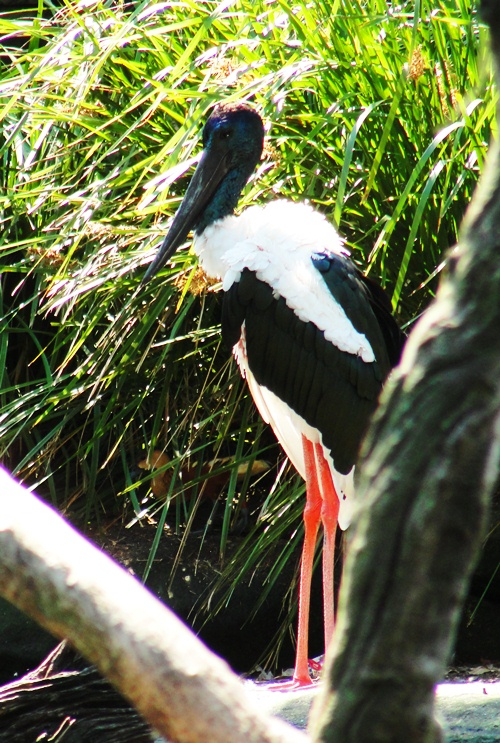 Black-necked Stork - Ephippiorhynchus asiaticus - Taronga Zoo - Wetland Birds - Australian Birds