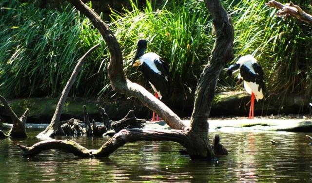 Black-necked Stork (Ephippiorhynchus asiaticus) - Taronga Zoo - Valentine Couple - Bird Couple