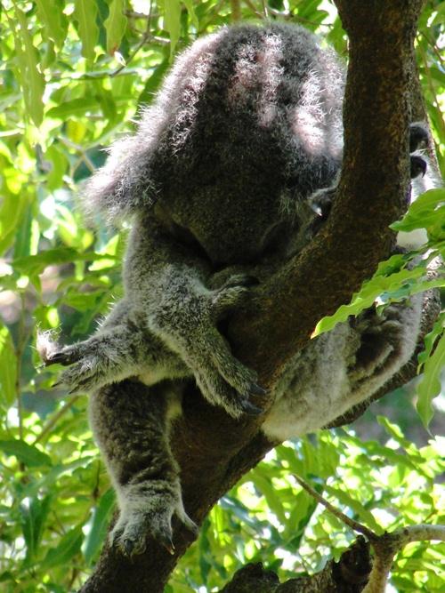 Sleeping Koala - Sydney Zoo - Taronga Zoo - Koala at Zoo