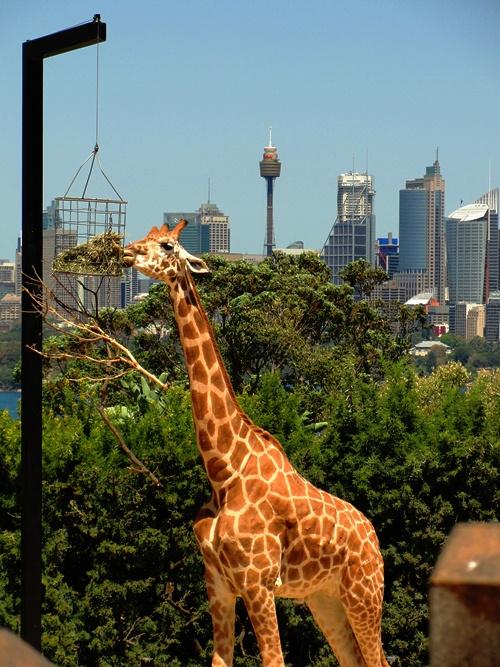 Giraffe at Taronga Zoo - Animal Skyscraper - Giraffe and Skyscrapers - Taronga Zoo
