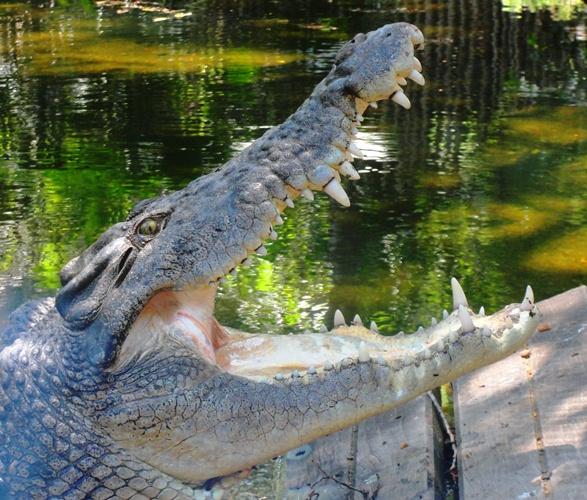 Yawning Crocodile - Salt Water Crocodile - Sydney Zoo - Taronga Zoo