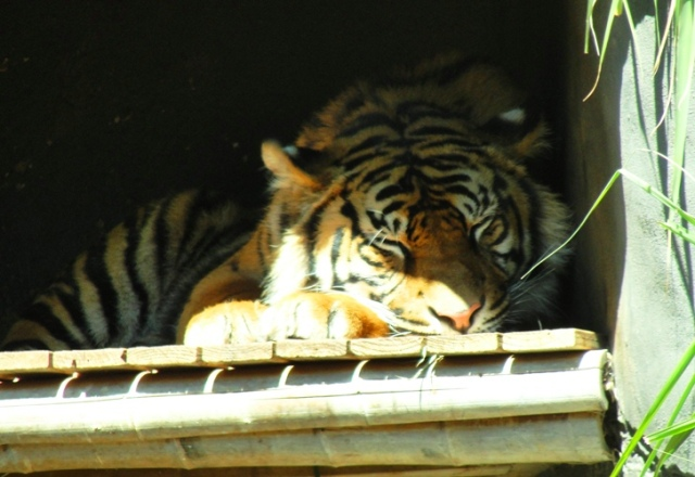 Sumatran Tiger - Sleeping Tiger - Taronga Zoo - Sydney Zoo - Snoozing Tiger